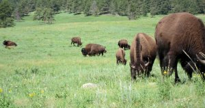 Bison grazing in the Black Hills