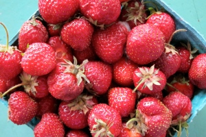 Strawberries From St. Lawrence County